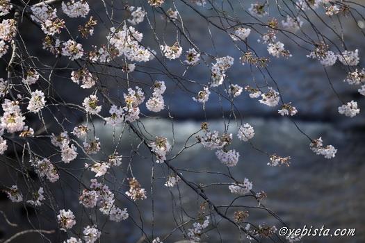 神田川桜並木